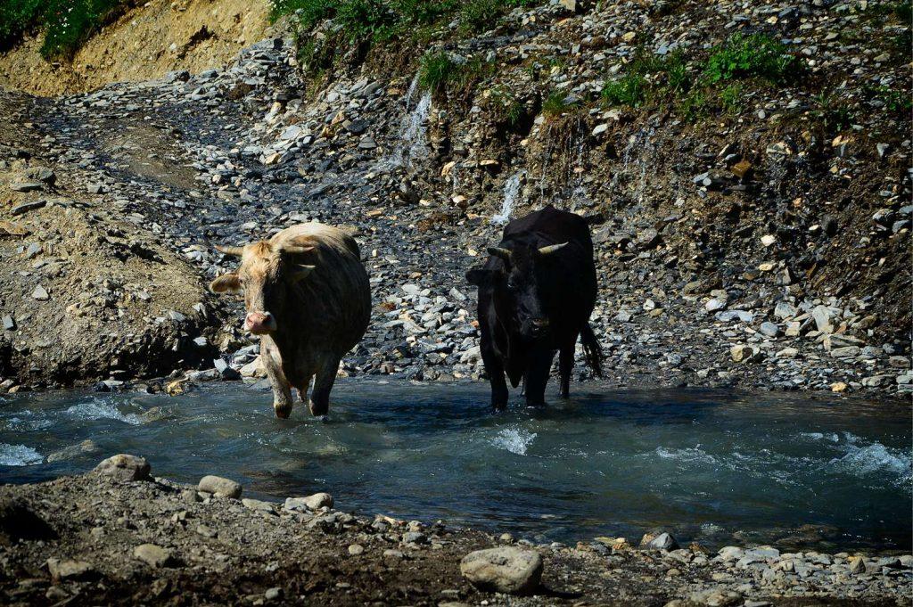 swanetia krowy