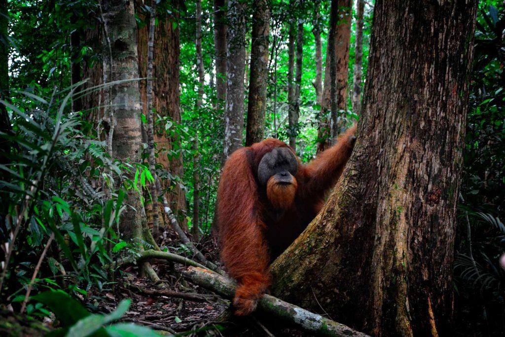 trekking z orangutanami bukit lawangsamiec orangutana trzyma w dłoni galaz