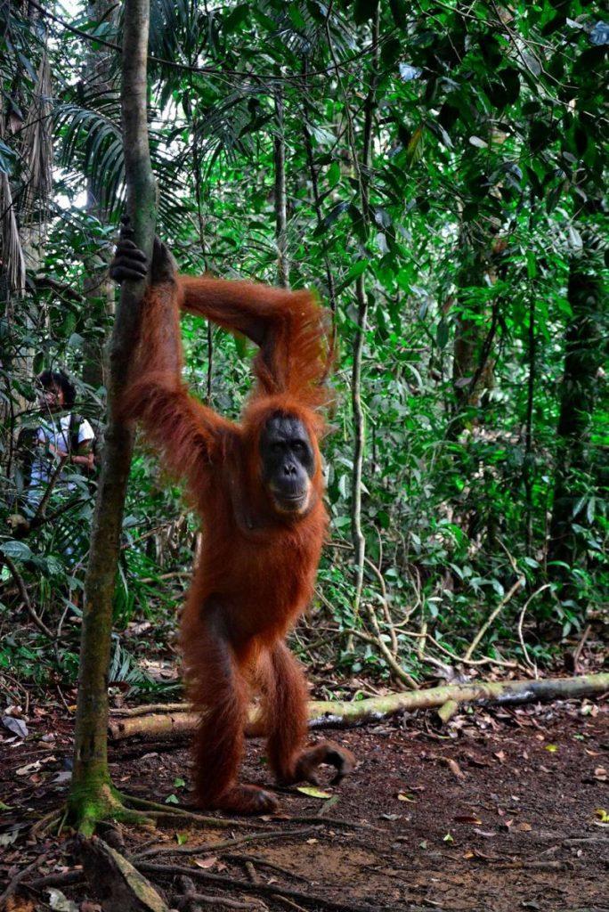 Orangutany na sumatrze bukit lawang Peszek orangutan stoi na dwóch nogach