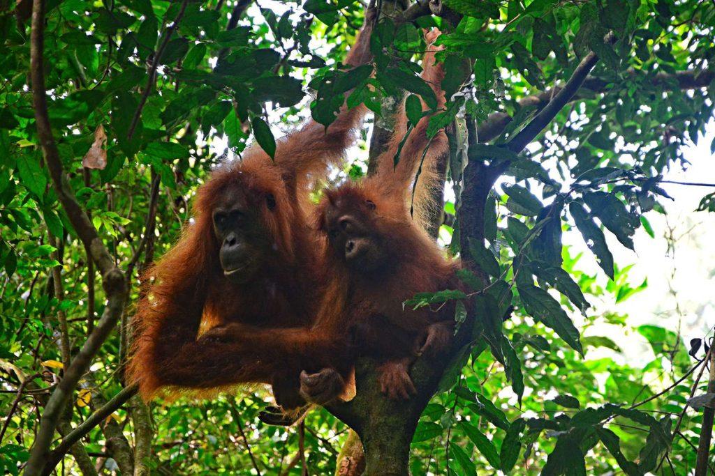 orangutany bukit lawang sumatra
