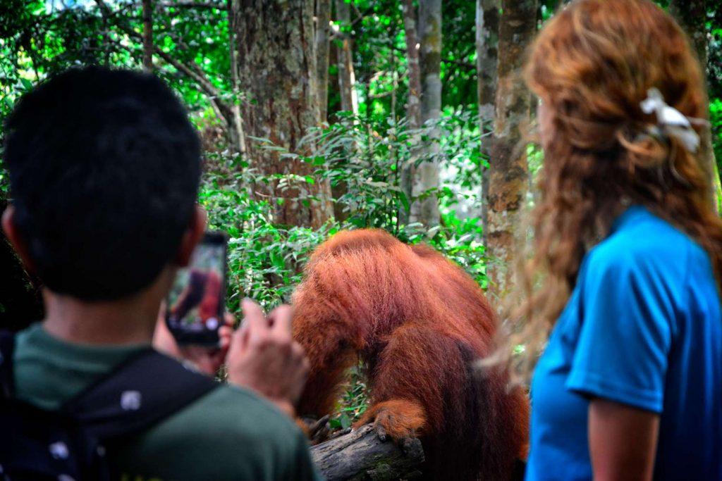 samiec orangutana na sumatrze jak wygląda trekking z orangutanami