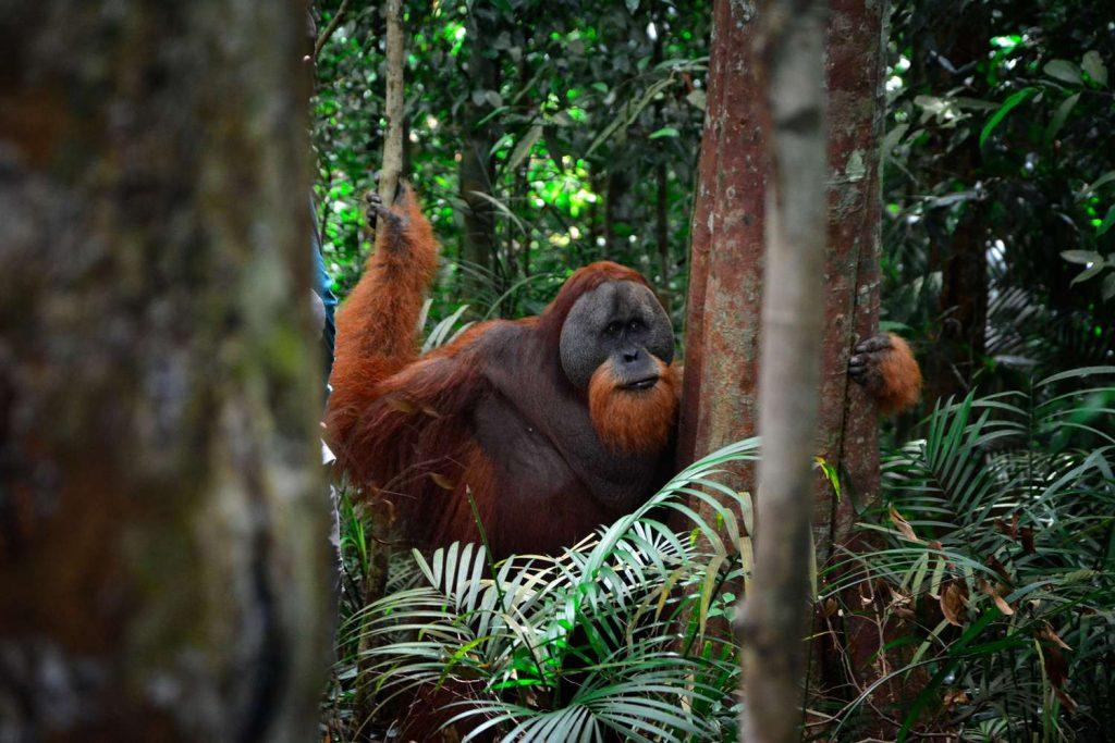 Samiec orangutana w Bukit Lawang na Sumatrze