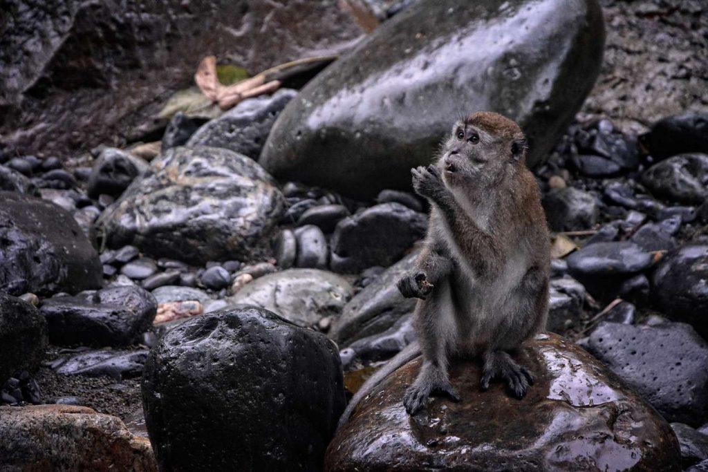 małpy w dżungli na sumatrze