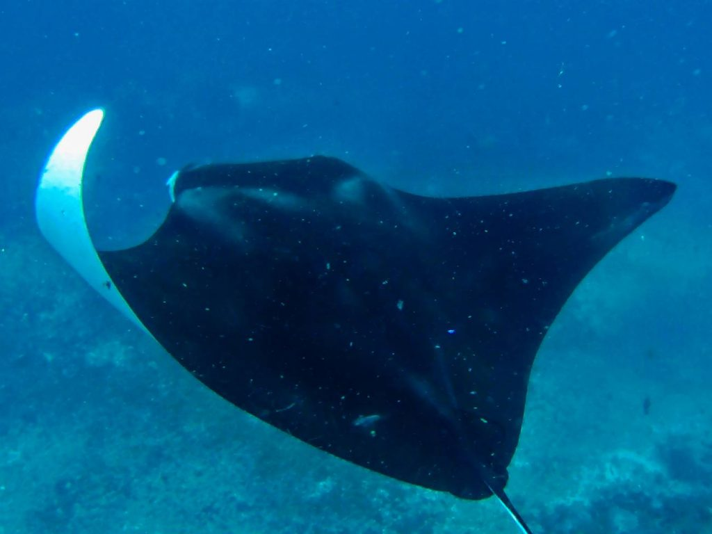 manta indonezja diabły morskie snorkeling w indonezji snorkeling z mantami