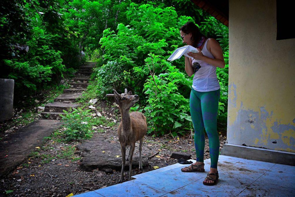 Menjangan jelenie Bali jeleń żebrzący o jedzenie