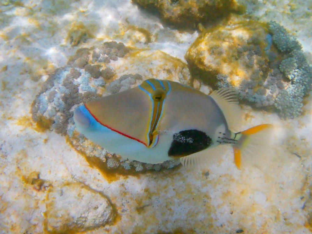 snorkeling tropikalna kolorowa ryba na rafie koralowej