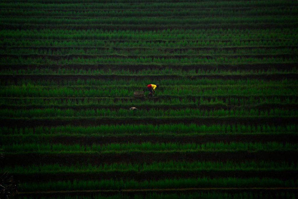 bali tarasy ryżowe Jatiluwih