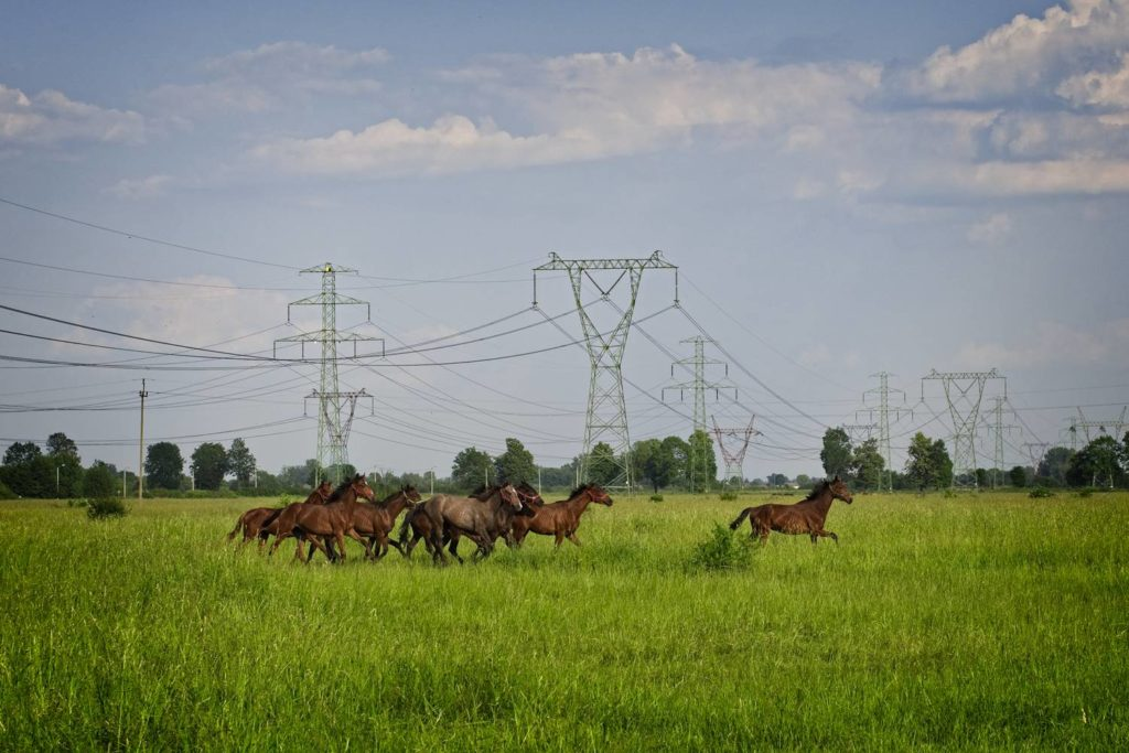stado koni biegnące po łące stadnina koni kozienice