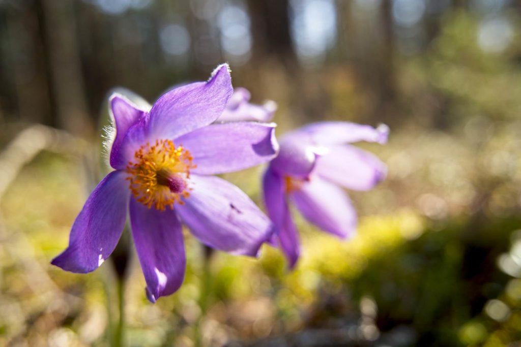 dzukijski park narodowy sasanka otwarta kwiatki co zobaczyc na litwie