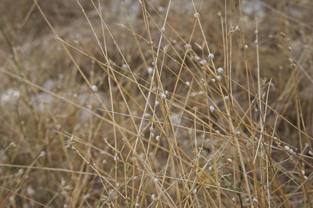wyschnięte trawy włochy