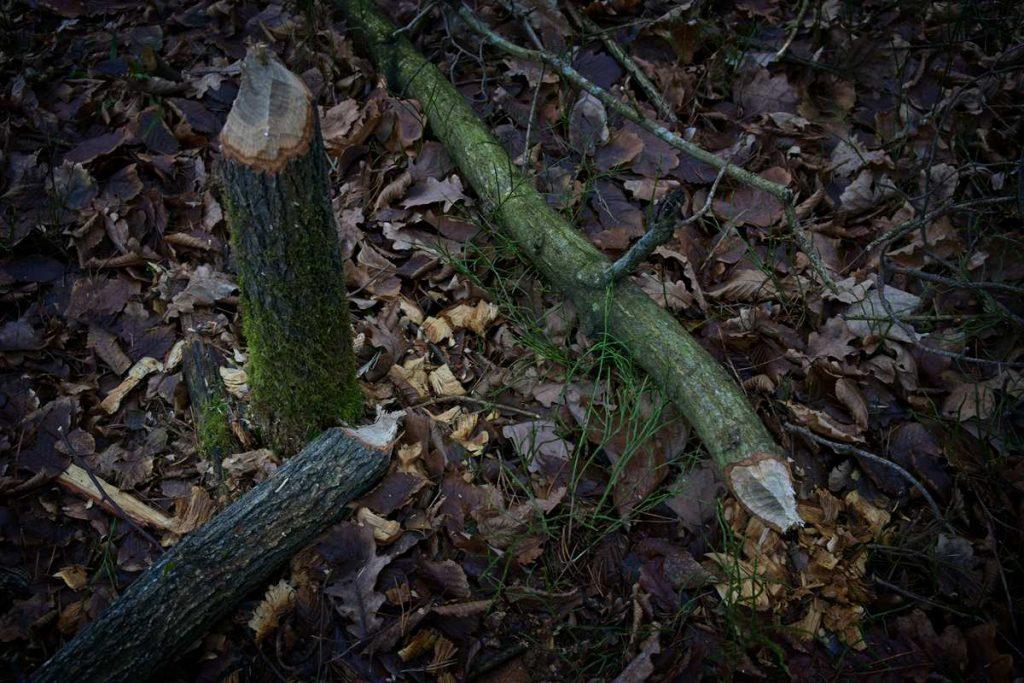 bobry puszcza kozienicka gdzie na spacer puszcza kozienicka rezerwat leniwa