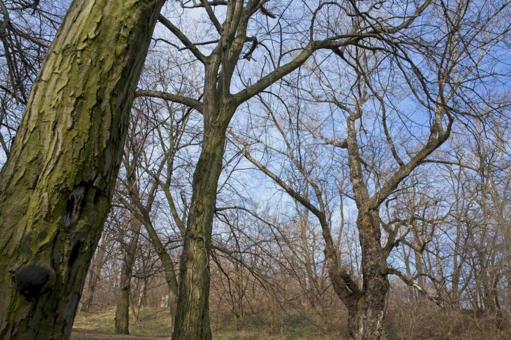 drzewa ksieznej izabeli fort bema