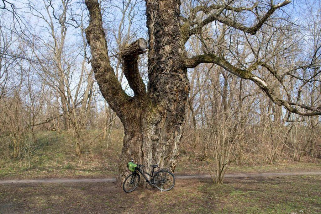 drzewa ksieznej izabeli fort bema pomnik przyrody