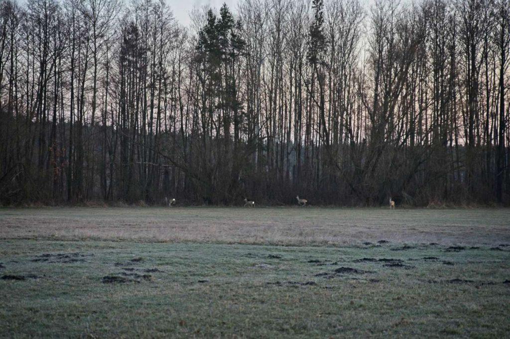 sarny w lesie blisko natury